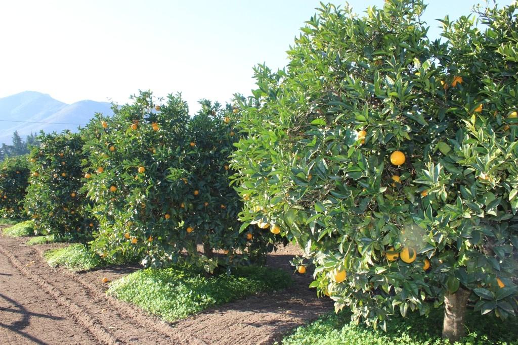 Muravera agrumeto vicino al paese v114 4mura immobiliare for Vendita piante da frutto sardegna